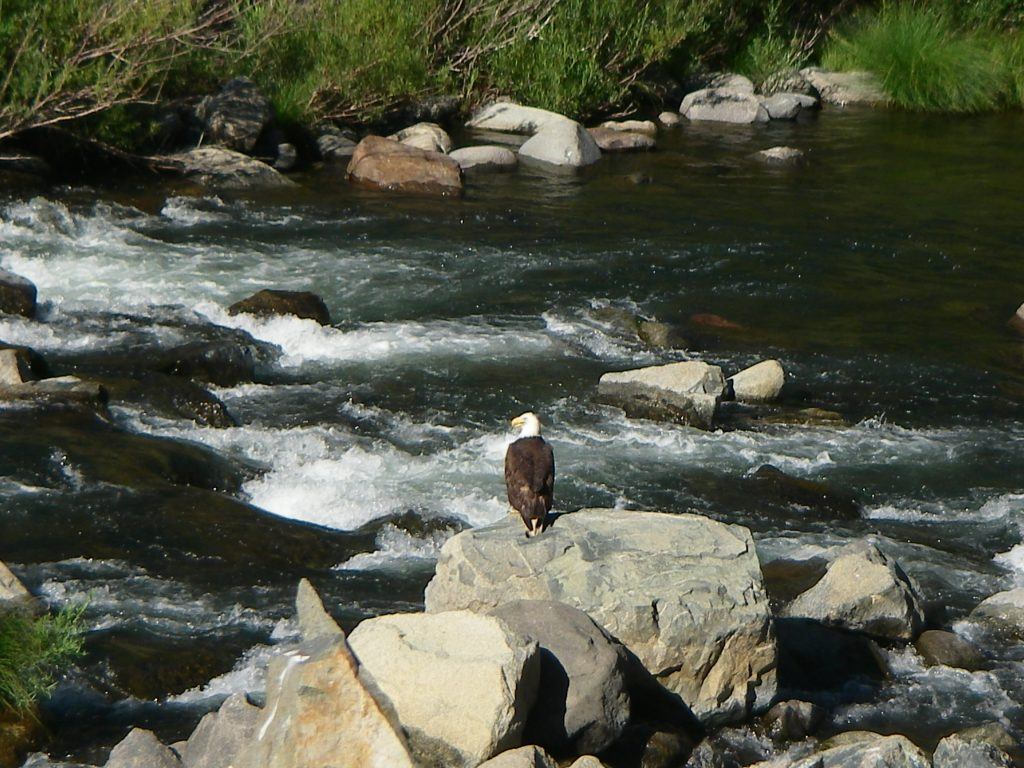 Bald eagle on the Upper North Fork Feather River in California.